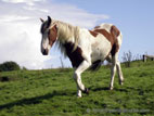 White and brown horse in field