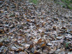A carpet of fallen leaves in autumn