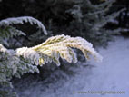 Fir branch with frost
