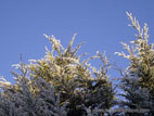 Fir tree with frost against a blue sky