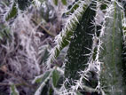 Close up of frost spikes on leaves