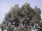 Eucalyptus tree in a hard frost