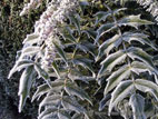Mahonia leaves covered in frost