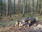 Felled trees stacked in woodland with rough forest floor